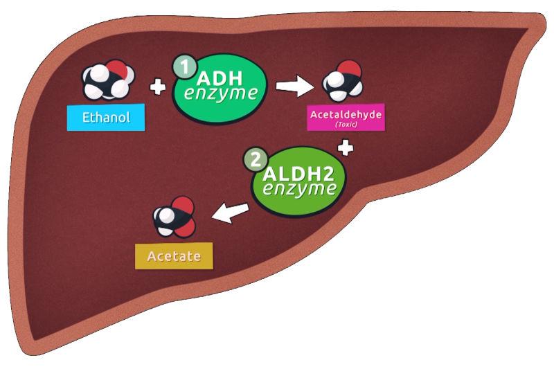 healthy alcohol metabolism